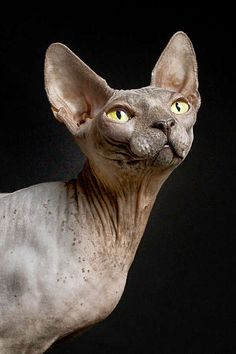 Sphynx Cat Named Pixel / Photography By Dracorubio Siamese Cats, Cats And Kittens, Elf Cat, Domestic Cat Breeds, Cat Anatomy, Hairless Dog, Sphinx Cat, F2 Savannah Cat, Cat Pose