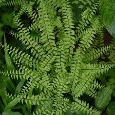 Bare Root Northern Maidenhair Fern (Adiantum pedatum)