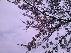 神戸の桜、6分咲き♪ SAKURA 60% full in Kobe♪