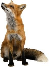 Wild fox, Fox, Animal, Biology PNG Image and Clipart Fox Images, Animals Images, Zebras, Render People, Fox Painting, Pet Fox, Mundo Animal, Fox Animal, Forest Friends