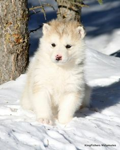 Cute Puppies, Dogs And Puppies, Pet Dogs, Pets, Alaskan Malamute, All Gods Creatures, Shades Of White, Kingfisher, Winter Scenes