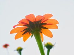 Summer Sunlight - Mexican sunflower shining through tropical sunlight in Hilo Big Island Hawaii