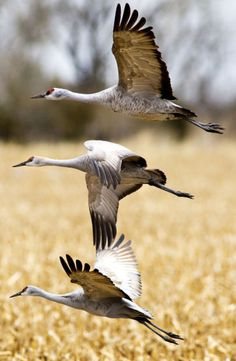 Cranes have something to dance about this spring : Lincoln, NE Journal Star