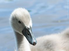 Cygnet ! by Stephen Shaw on 500px