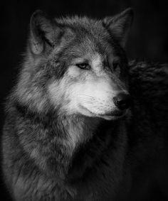 Lobo - Animal - Por: Angel Catalán Rocher! CLICK - pinterest.com/AngelCatalan20/boards/