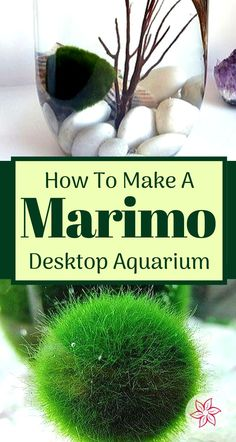 Marimo moss balls are easy to care for. Making a beautiful terrarium (or aquarium) for Marimos is fun and doesn't take much time. We will go over all the tips and design tricks you will need to know. Native to Japan, Marimo moss balls are a filamentous form of algae found at the bottom of fresh water lakes and rivers. Marimos form a velvet-like nearly perfect sphere of green with a moss-type appearance... (Click Pin To Read More).