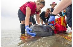 Chester the false killer whale to stay at Vancouver Aquarium