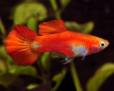 A BaileyBros (TM) mature Male Coral Red Guppy. To see more click on ... http://www.AquariumFish.net/catalog_pages/livebearer_guppies/guppies_table.htm#3553