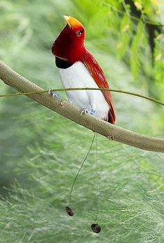 king bird of paradise. My all time favourite bird! Jehovah's amazingly beautiful creation!