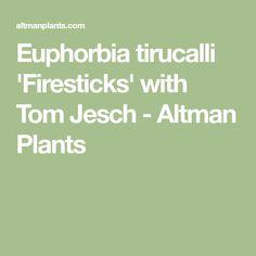 Euphorbia tirucalli 'Firesticks' with Tom Jesch - Altman Plants Water Wise, Fall 2018, Succulents, Toms, Plants, Succulent Plants, Plant, Planets