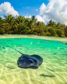 Stingray – Moorea, French Polynesia