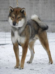 Kishu inu - check out top 10 rare dog breeds dogs dogs, dog Rare Dogs, Rare Dog Breeds, Unique Dog Breeds, Big Dogs, I Love Dogs, Dogs And Puppies, Rare Animals, Animals And Pets, Beautiful Dogs