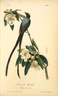 Fork-tailed Flycatcher. Gordonia Lasianthus. (1840-1844)