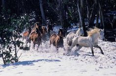 Brumbies in the Snowy Mountains. A Brumby is a free-roaming feral horse in Australia. Although found in many areas around the country, the best-known brumbies are found in the Australian Alps region in south-eastern Australia. Wikipedia #AustraliaItsBig
