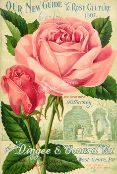 027-Roses ...