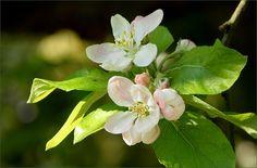 Apfelbaumblüten - Jahreszeiten - Galerie - Community