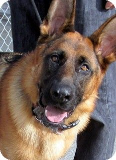 Prince really really desperately needs a FOSTER HOME for the holidays! Please share!!! http://www.adoptapet.com/pet/8212951-los-angeles-california-german-shepherd-dog