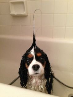"""What's this?"" #dogs #pets #CavalierKingCharlesSpaniels…"