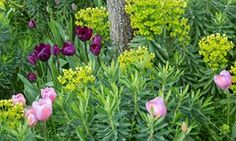 Salmon Impression' and 'Negrita' tulips with euphorbia.