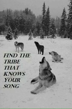 snow winter Black and White wolf nature forest wolves wild Woods pines falling snow howling wolf Wolf Love, Wolf Spirit, Spirit Animal, Beautiful Creatures, Animals Beautiful, Tier Wolf, Animals And Pets, Cute Animals, Howl At The Moon