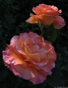 'Adolph Horstmann' Rose Photo
