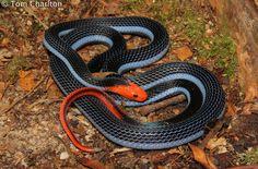 Blue Malayan Coral Snake--venomous                                              Google Image Result for http://calphotos.berkeley.edu/imgs/512x768/0000_0000/0812/3043.jpeg