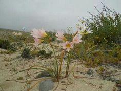 Añañuca, flor chilena de zonas desérticas.