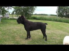 Cane Corso Of Troy- local Ontario CA Corso breeder