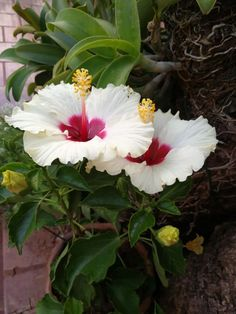 #Hibiscus Hibiscus Plant, White Hibiscus, Hibiscus Flowers, Exotic Flowers, Tropical Flowers, Amazing Flowers, Pretty Flowers, Valley Of Flowers, Identify Plant