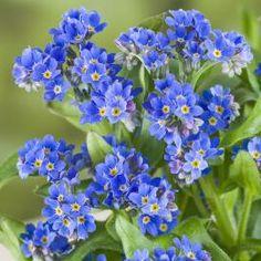 Vergissmeinnicht Myosotis sylvatica, blau