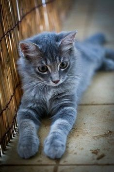 Steel Gray Kitten