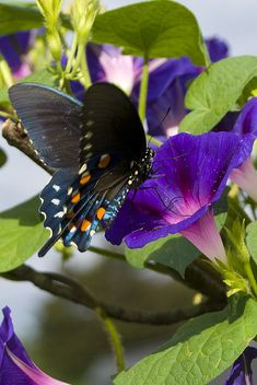 Morning Glory and the butterfly nature Butterflies Flying, Beautiful Butterflies, Beautiful Flowers, Butterfly Kisses, Butterfly Flowers, Vintage Butterfly, Butterfly Wings, Purple Flowers, Chenille