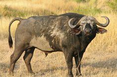 African Buffalo in the Maasai Mara National Reserve, Kenya, Africa