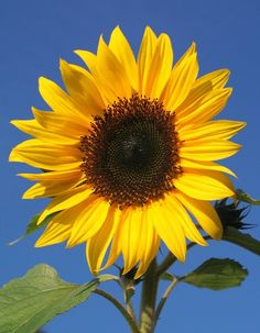 Sunflowers - bright, beautiful and brilliant for bees and birds #homesfornature