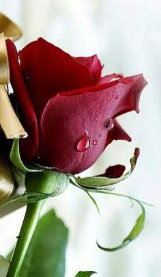 A Rosa Como Símbolo do Desejo Espiritual de Realização do Eu  A jornada interior pode ser simbolizada pelo desabrochar da rosa na cruz. A rosa  um dos símbolos do processo de mudança, transmutação alquímica, como diamante, flor de Iótus, a criança interior, a esfera dourada, a luz branca, são também exemplos de símbolos do Eu. Podemos encontrá los nos sonhos espirituais nos grandes mitos da humanidade,  como também nos manuscritos alquímicos ou ainda, por exemplo, nas cartas do Tarôt…