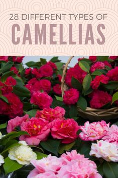 Gorgeous Camellias in different colors. A plant that belongs to the Theaceae family or the tea family. Landscaping Plants, Garden Plants, Flowering Plants, Herb Garden, Landscaping Ideas, Flower Farm, Flower Pots, Camellia Flower Ideas, Outdoor Plants