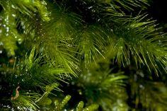 SIARAM :: Echinodium renauldii