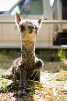 Alpaca farming is a great way to pass the time. However, learn how to make money alpaca farming to avoid making a mistake in your career. Baby Alpaca, Cute Alpaca, Zoo Animals, Animals And Pets, Funny Animals, Cute Animals, Alpacas, Funny Animal Photos, Cute Animal Pictures