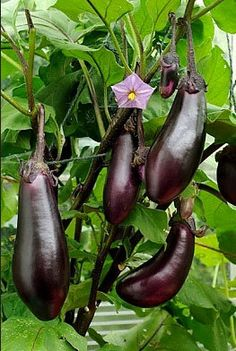 Organic Black Beauty Eggplant Heirloom Vegetable by nimblenitecap, $2.15