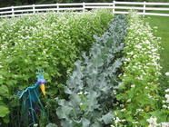 {gardening} Cover Crops 101  fromscratchclub.com  Dianna explains all you need to know about cover cropping your home garden. Cover crops are incredibly important for soil improvement, fertility and stabilization and for weed control.