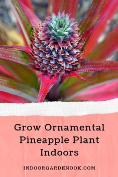 If you like cute and miniature versions of common fruit, this guide is just for you. Learn more on how to grow ornamental pineapple plant indoors. Pineapple Flowers, Pineapple Planting, Indoor Flowers, Indoor Plants, Container Gardening, Gardening Tips, Indoor Gardening, Garden Nook, Room With Plants