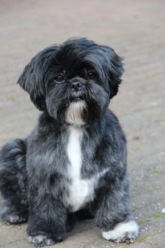 "Shih-Tzu (looks just like the love of my life, ""Button"") The best pet I ever had. It was impossible to love her more. I miss her so much."