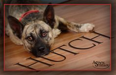 Hutch is an adoptable Dutch Shepherd Dog in Valparaiso, IN. This sweet boy is Hutch. He came from a terrible hoarding situation. All this poor boy wants is some love and a nice loving home. Foster is ...