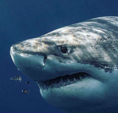 Majestic Great White shark Shark Pictures, Shark Photos, Shark Art, Shark Diving, Orcas, Big Great White Shark, Save The Sharks, Megalodon, Ocean Creatures