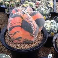 genus Astrophytum