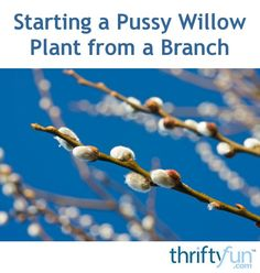 Many plants can be started from cuttings, including the pussy willow. This is a guide about starting a pussy willow plant from a branch.