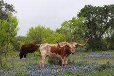 Texas Longhorn in spring bluebonnets