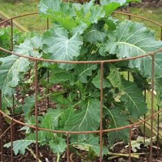 Elegance Round Plant Supports from Agriframes