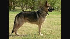 This is an American showline German Shepherd when its not posing. You notice the nice shape of the body. The back hocks are pointed inward but they are still very good for work. The stack or pose that nobody seems to like about this type is just an illusion created by the handler, many showlines are actually very wonderfully structured dogs