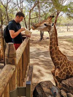 Cum e sa hranesti o girafa? Am povestit mai multe despre asta intr-un articol unde am dezbatut pe larg subiectul Mauritius. La ce te poti astepta de la o vacanta acolo? Citeste pe blogul madalinapintea.ro  #giraffe #mauritius #ilemaurice #girafa #wildlife Mauritius, Mai, Giraffe, Animals, Felt Giraffe, Animales, Animaux, Giraffes, Animal